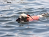 swimming-dog